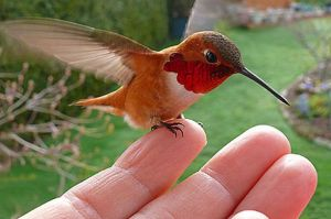 hummingbird-pic-solent-news-362425014